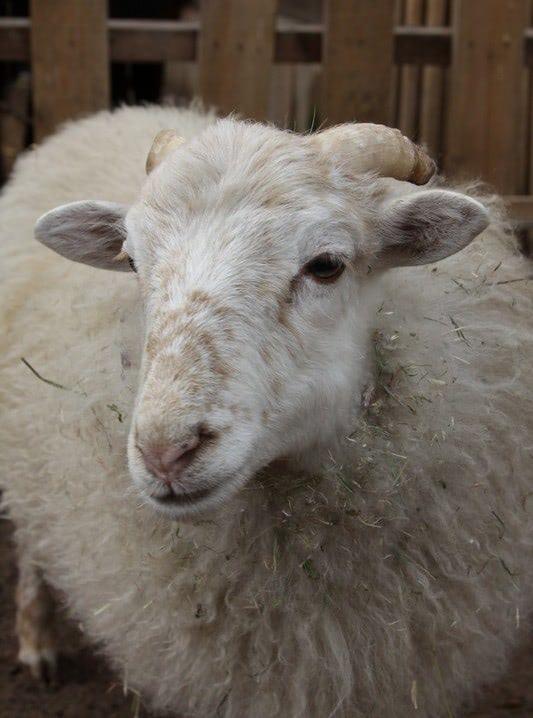 короткий бизнес план овцеводства таблицы фото виды продукции